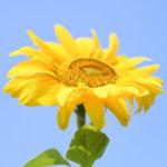 Olio di semi di girasole alto oleico - Ghiott