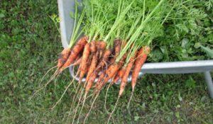 piantare carote