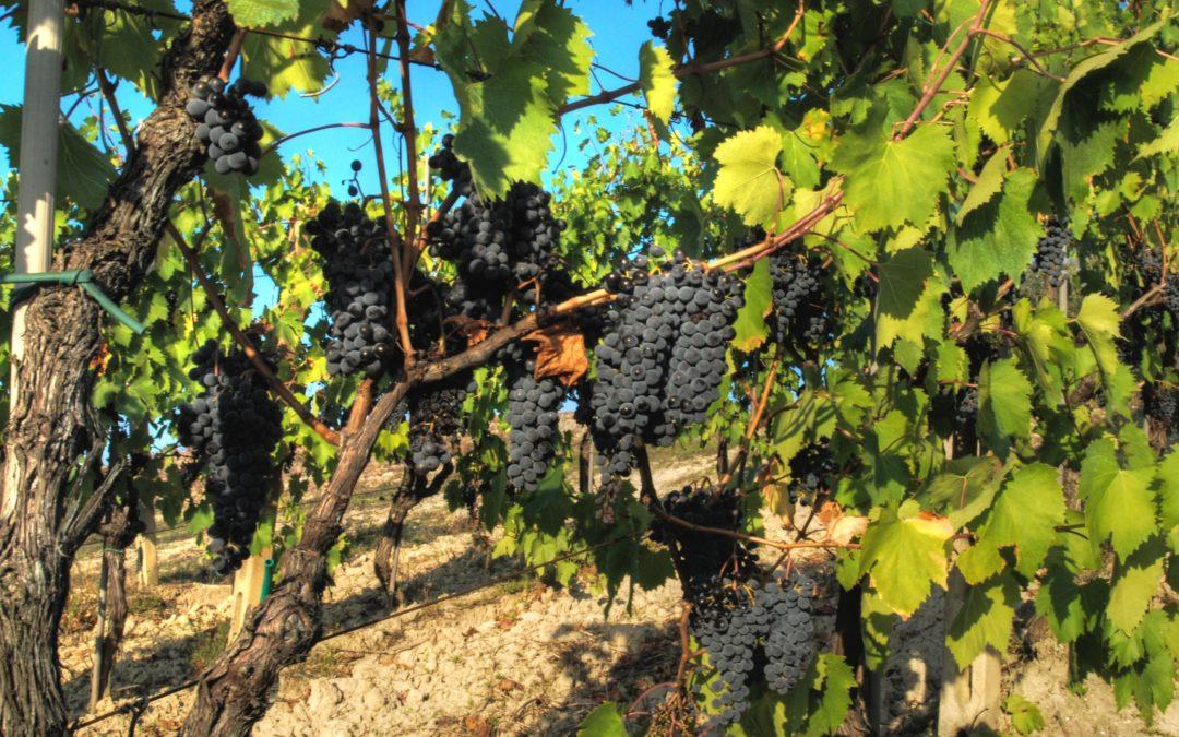Settembre: tempo di vendemmia, e della schiacciata con l'uva di Fabio