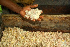 Raccolta ed essiccazione cacao